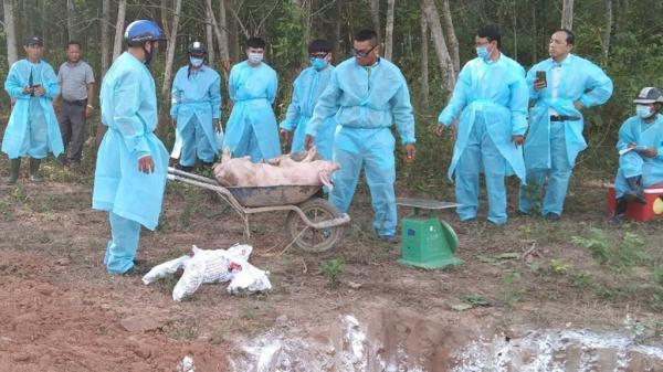 Dịch tả lợn châu Phi hoành hành tại Điện Biên