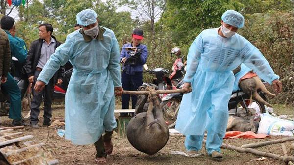 Sơn La hỗ trợ gần 40 tỷ đồng phòng chống dịch tả lợn châu Phi