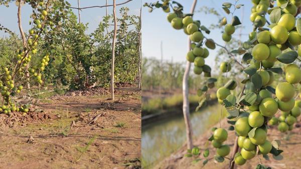 Vườn táo ở miệt vườn miền Tây: Quả lúc lỉu từ gốc đến ngọn, ăn 'tẹt ga' không giới hạn thời gian