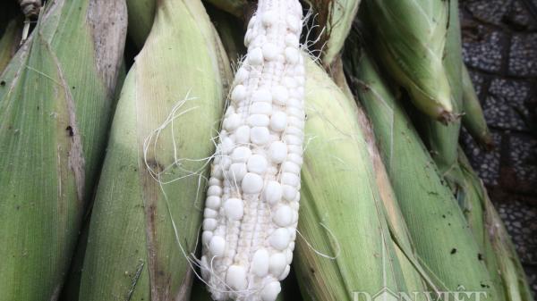 Trà Vinh: Nông dân khóc ròng vì tưởng trồng bắp trúng mùa nhưng ai dè không hạt