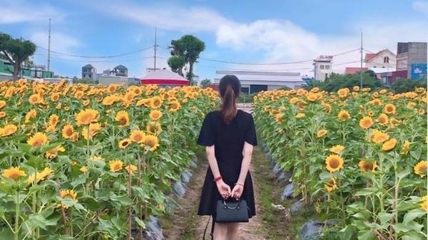 Mãn nhãn vườn hoa hướng dương nở rộ ở Hải Dương, giới trẻ hào hứng rủ nhau tới chụp ảnh